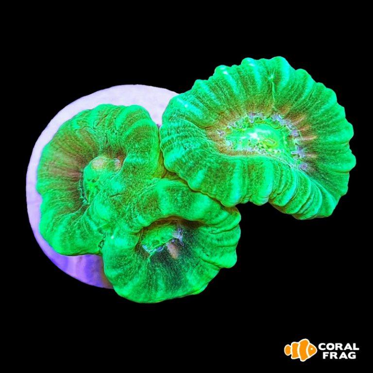 Caulastrea Hulk Fluor