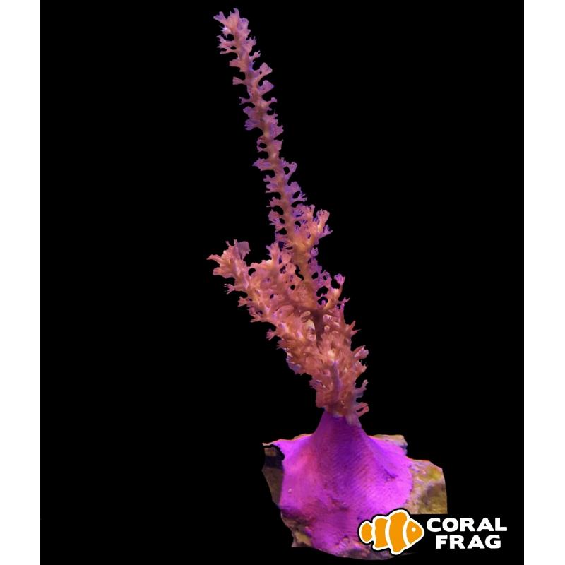 Gorgonia rosa (frag)