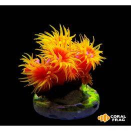 Tubastrea faulkneri orange