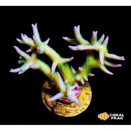 Seriatophora Green&Yellow