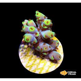 Acropora Pikachu