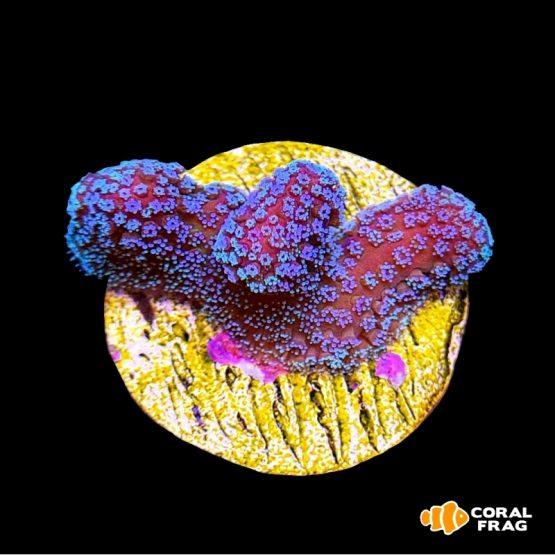 Stylophora Blue Polyp