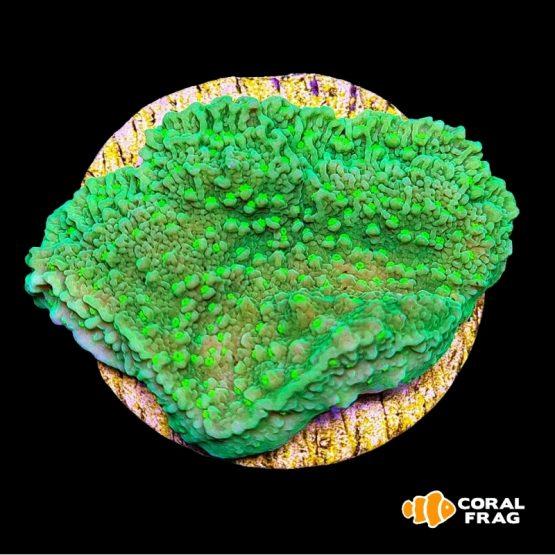 Montipora Plato - Yellow Polyp