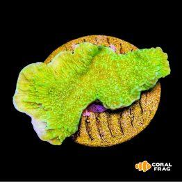 Montipora Plato - Lime