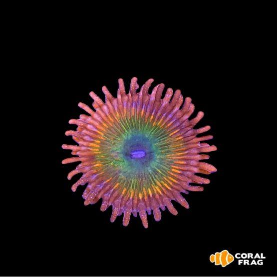 Zoanthus Rainbow